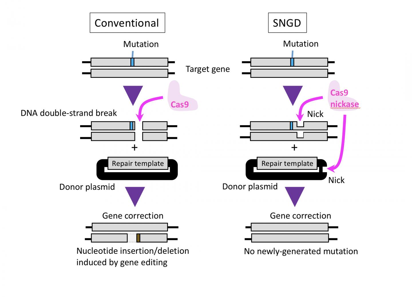 Fig.1. Cas9 Introduces a DNA Double-Strand Break in the Target Gene