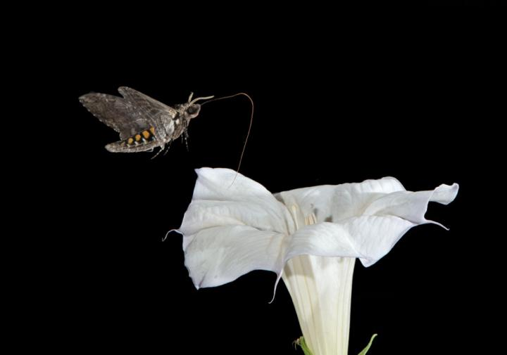 Moths' Sweet Way of Compensating for Lack of Antioxidants