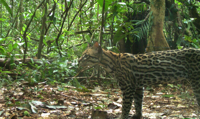 Ocelot (<i>Leopardus pardalis</i>) Density in Central Amazonia