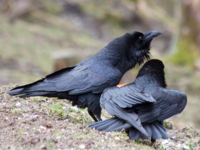 Interaction Ravens