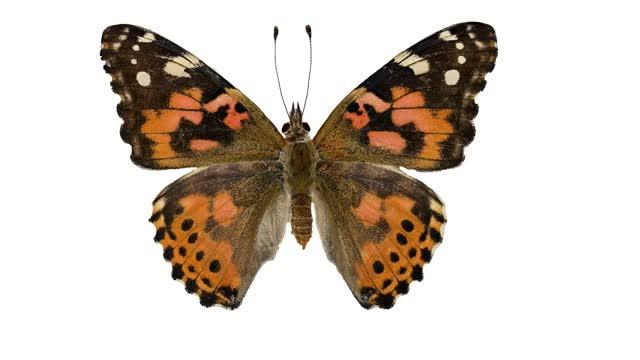 From DNA to Diversity: 'Painting Gene' Shapes Butterfly Wing Patterns