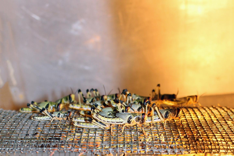 Locust Breeding