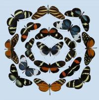 <i>Heliconius</i> Butterflies