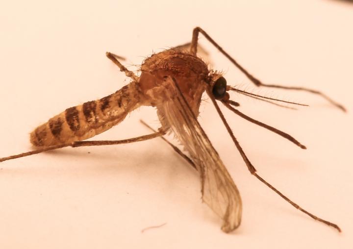 The London Underground Mosquito (<i>Culex pipiens molestus</i>)