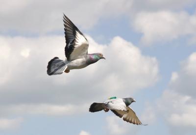 Homing Pigeons in Flight (1 of 2)
