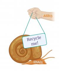 Cancer-Metastasizer SNAI2 Gets Tagged for Recycling