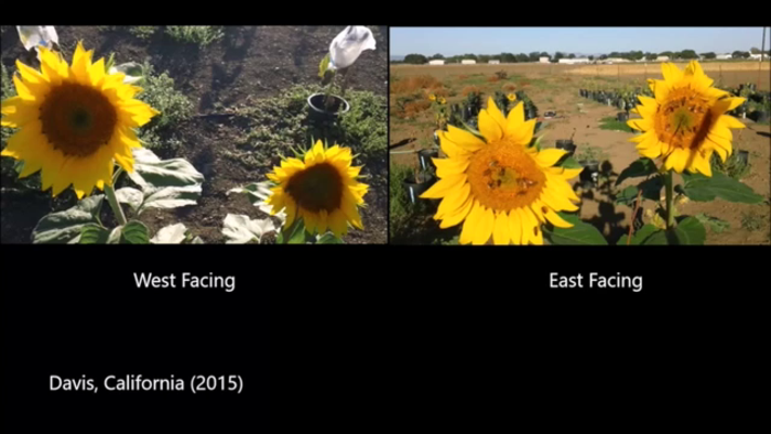Bees visiting east- and west-facing sunflowers