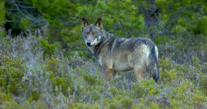 A wolf in Spain
