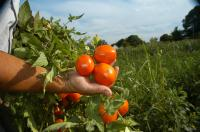 Scientists Uncover a Way to Boost Tomato Yields