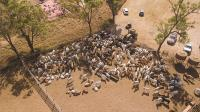 Drone Image of Cattle in Pen