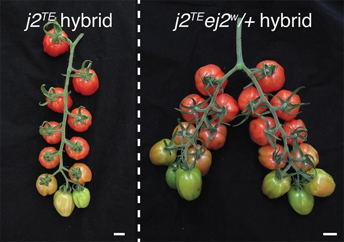 Fine-Tuning Tomato Genes to Capture Trapped Yield