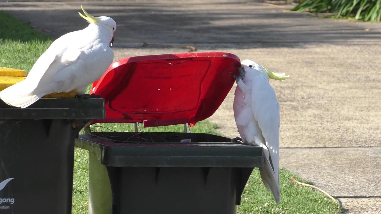 Cockatoos at wheelie bin