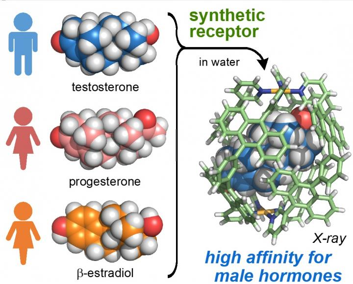 The Synthetic Receptor Preferentially Binds a Male Hormone