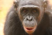 The Bonobo (<em>Pan paniscus</em>)