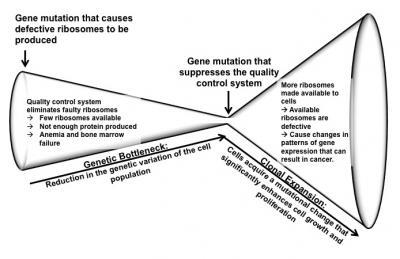 Dinman-ribosomopathy-model