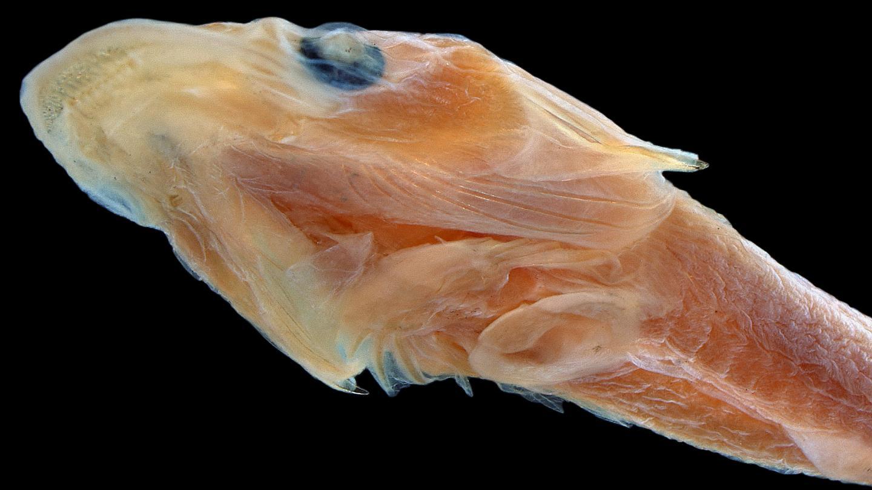 Duckbilled Clingfish