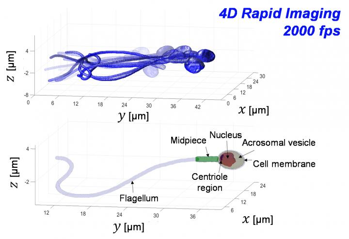 Sperm Imaging