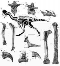 Skeleton and Bones of <I>Anzu wyliei</I>