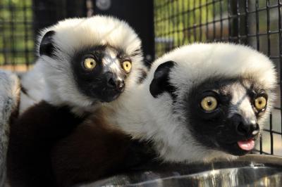Sifakas Duke Lemur Center