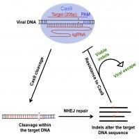 HIV-1 Can Escape Cas9/sgRNA-Mediated Inhibition
