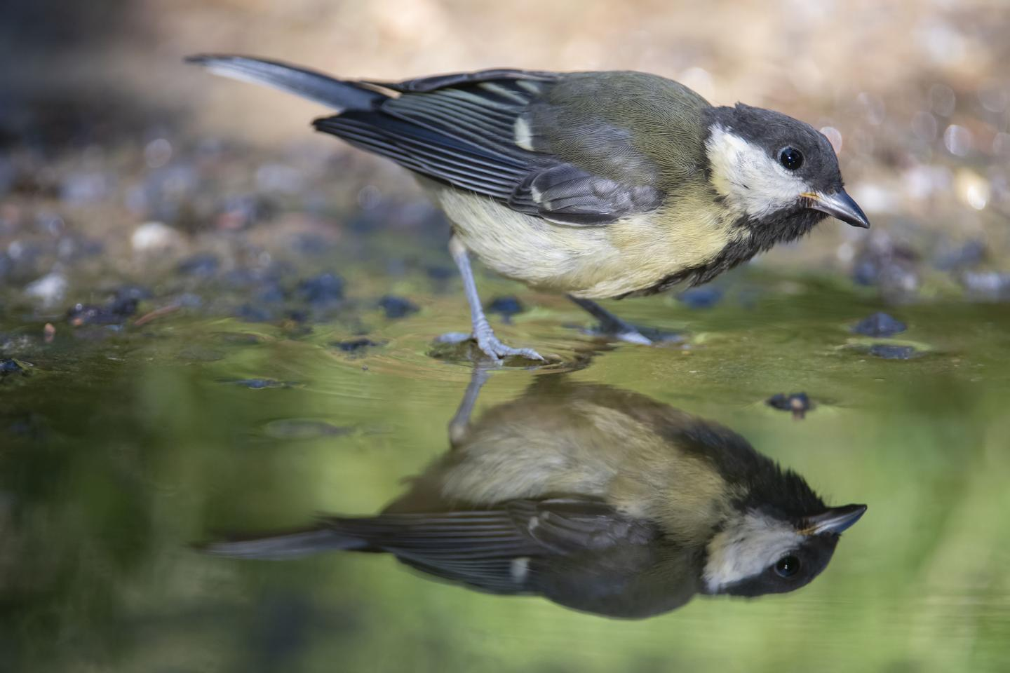 Small Bird Wading in Water