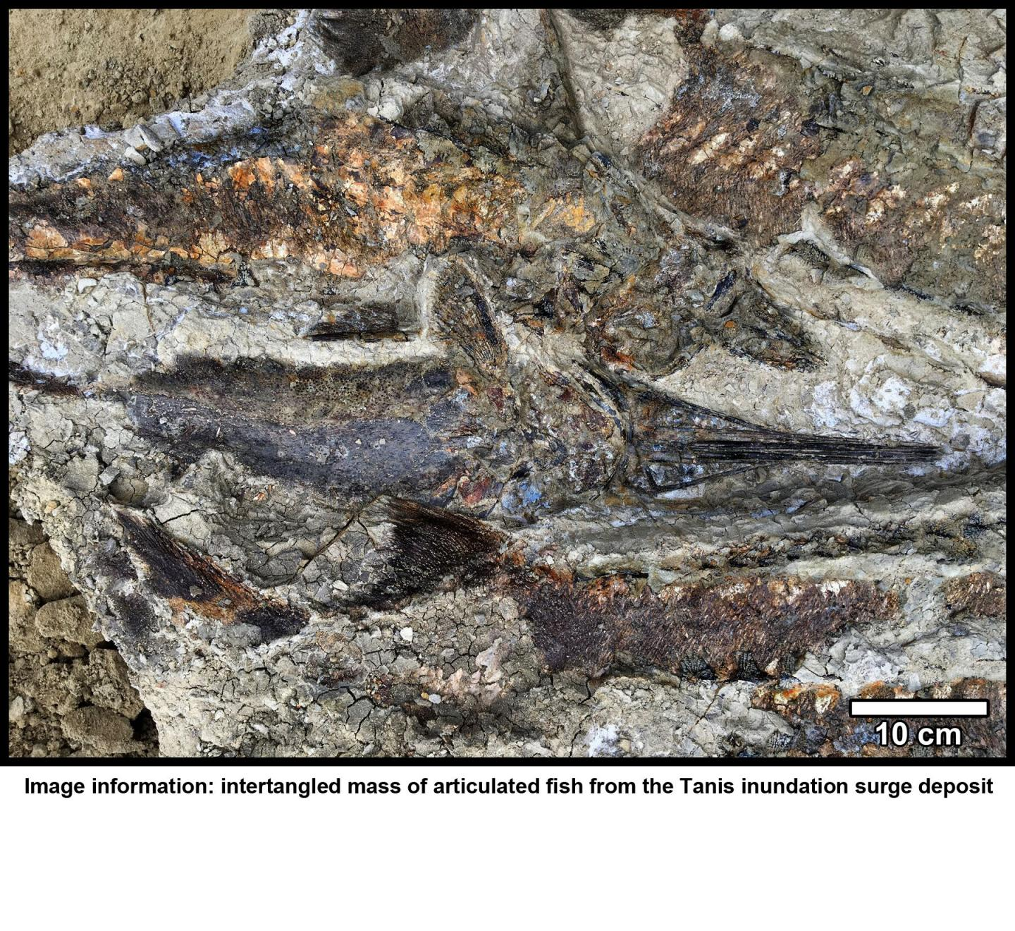 Fossilized Fish