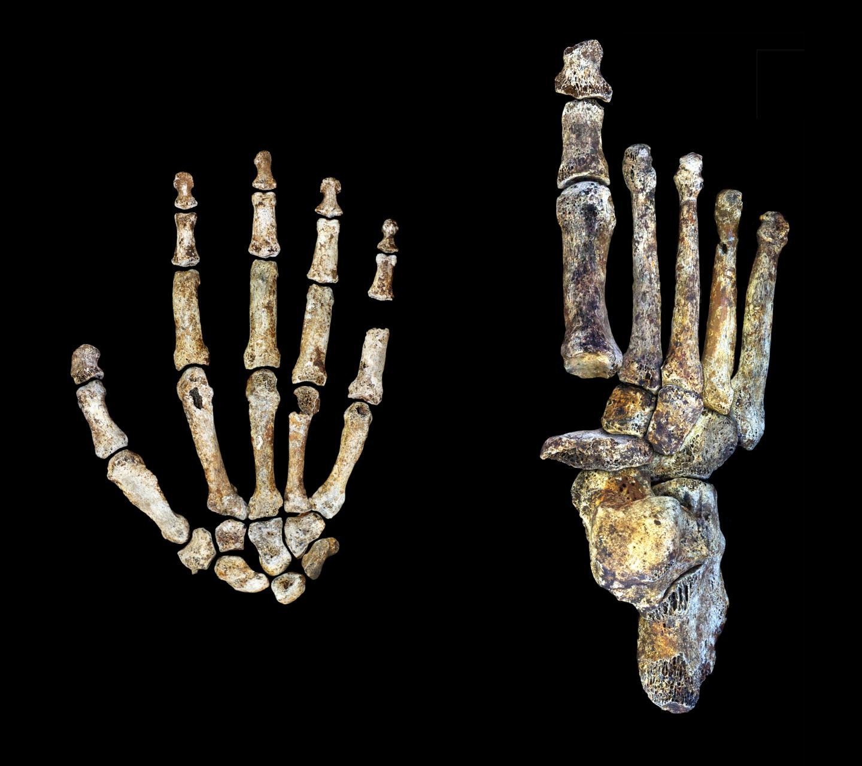 <i>Homo naledi</i> Hand and Foot