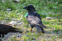 Raven with GPS-tracker