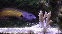 Tubelip Wrasse Feeding on Coral