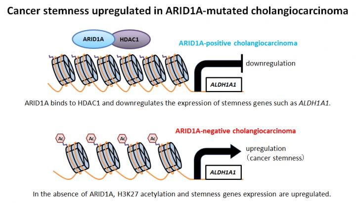 Cancer Stemness Upregulated in ARID1A-Mutated Cholangiocarcinoma