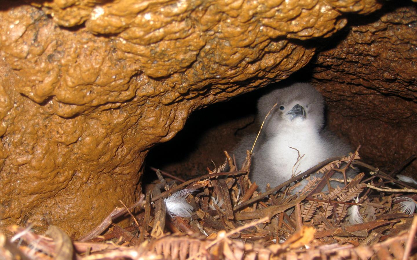 Newell's Shearwater Chick