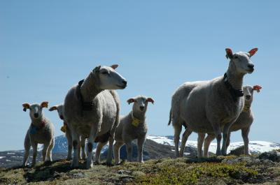 Sheep in Norwegian Mountains