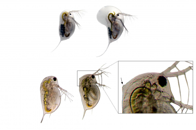 Predator Induced Defenses in Daphnia