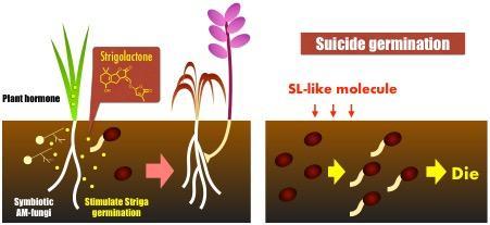 Suicide Germination of Striga