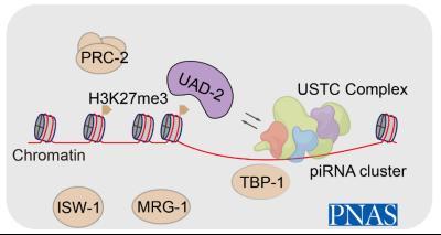 A chromodomain protein mediates heterochromatin-directed piRNA expression