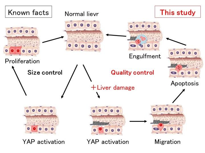 YAP-Dependent Liver Size and Quality Controls