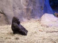 Gorilla at Woodland Park Zoo, Seattle