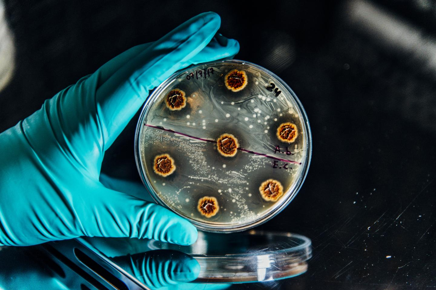 Bacteria in a Plate