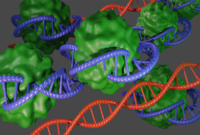 An illustration (not to scale) showing compact DNA (blue) bound to PRC1 (green). Loss of PRC1 leads to aberrant gene activity (DNA; red).