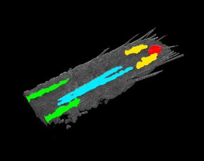 Drosophila Central Nervous System