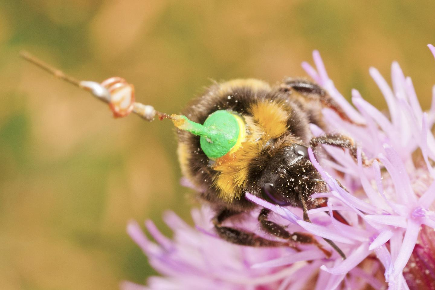 A Bumblebee Feeds on a Thistle (1 of 2)
