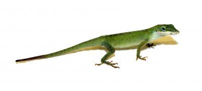 Green Anole Lizard (<i>Anolis carolinensis</i>)