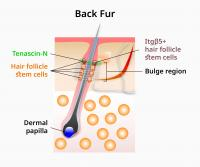 Hair follicle stem cells important for proper hair cycles