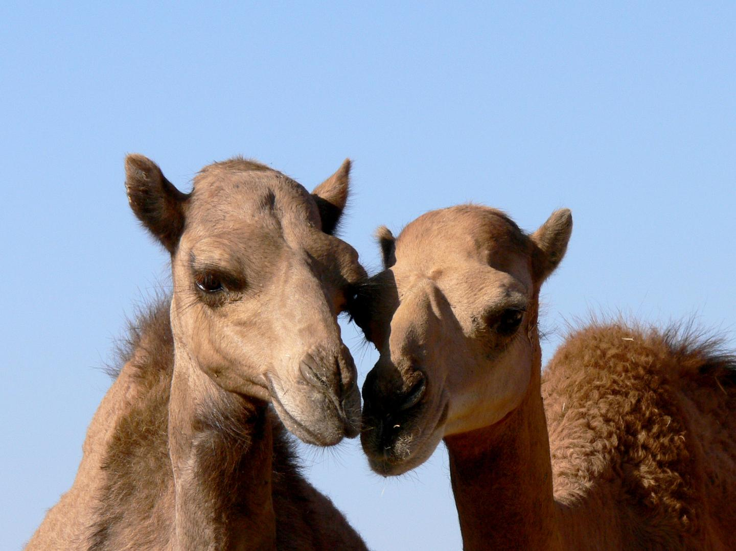 MERS Virus in Camels: Different Variations and a Vaccine