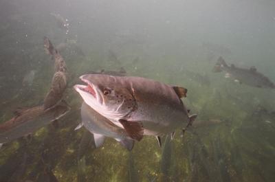 Genetic Chip Will Help Salmon Farmers Breed Better Fish