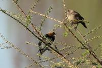Cowbirds in Tree