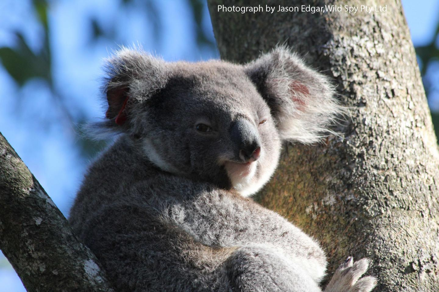 Koalas are Clever