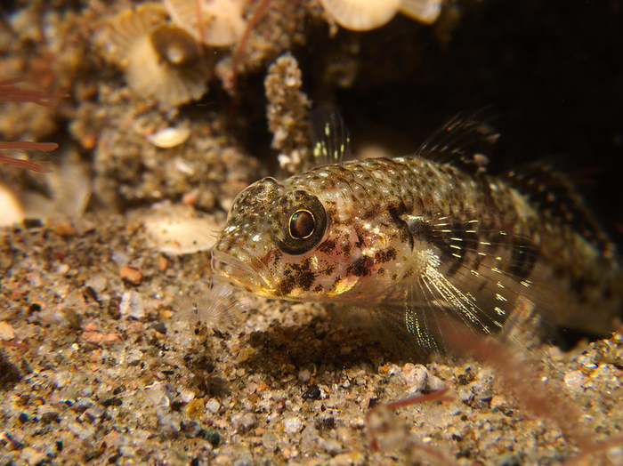 A goby