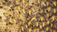 Giant Asian Honey Bee (Apis dorsata) Colonies in Bengaluru, India