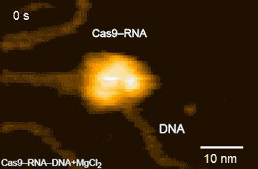 Figure 2: HS-AFM Movies of DNA Cleavage by Cas9-RNA